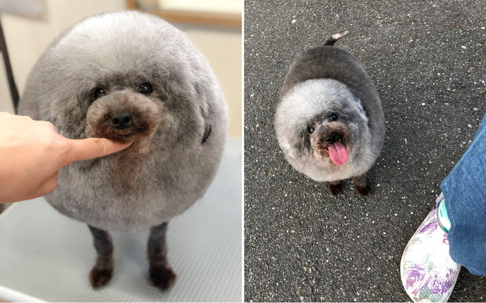 fluffy-dog-comes-back-from-the-groomer-and-becomes-the-roundest-dog-ever-01