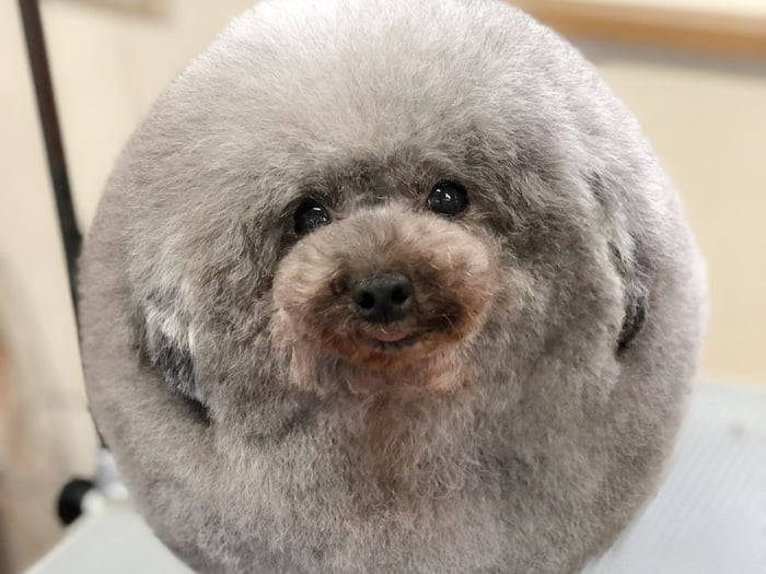 fluffy-dog-comes-back-from-the-groomer-and-becomes-the-roundest-dog-ever-02