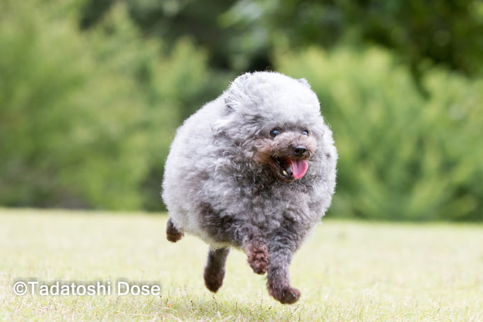 fluffy-dog-comes-back-from-the-groomer-and-becomes-the-roundest-dog-ever-03