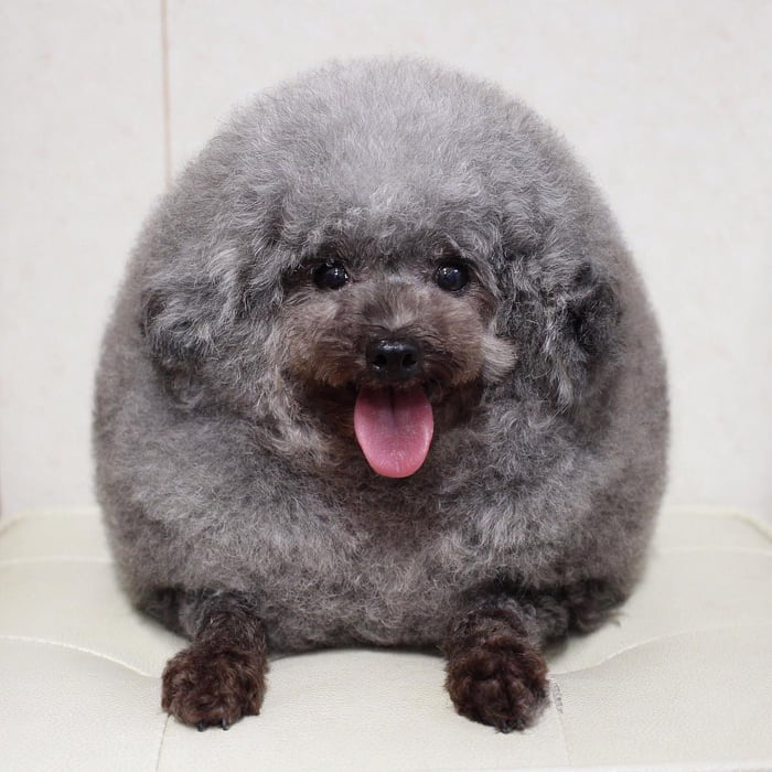 fluffy-dog-comes-back-from-the-groomer-and-becomes-the-roundest-dog-ever-05