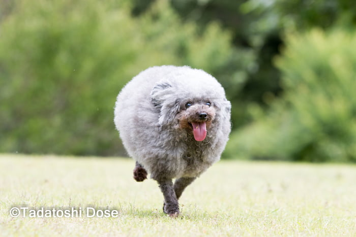 fluffy-dog-comes-back-from-the-groomer-and-becomes-the-roundest-dog-ever-11