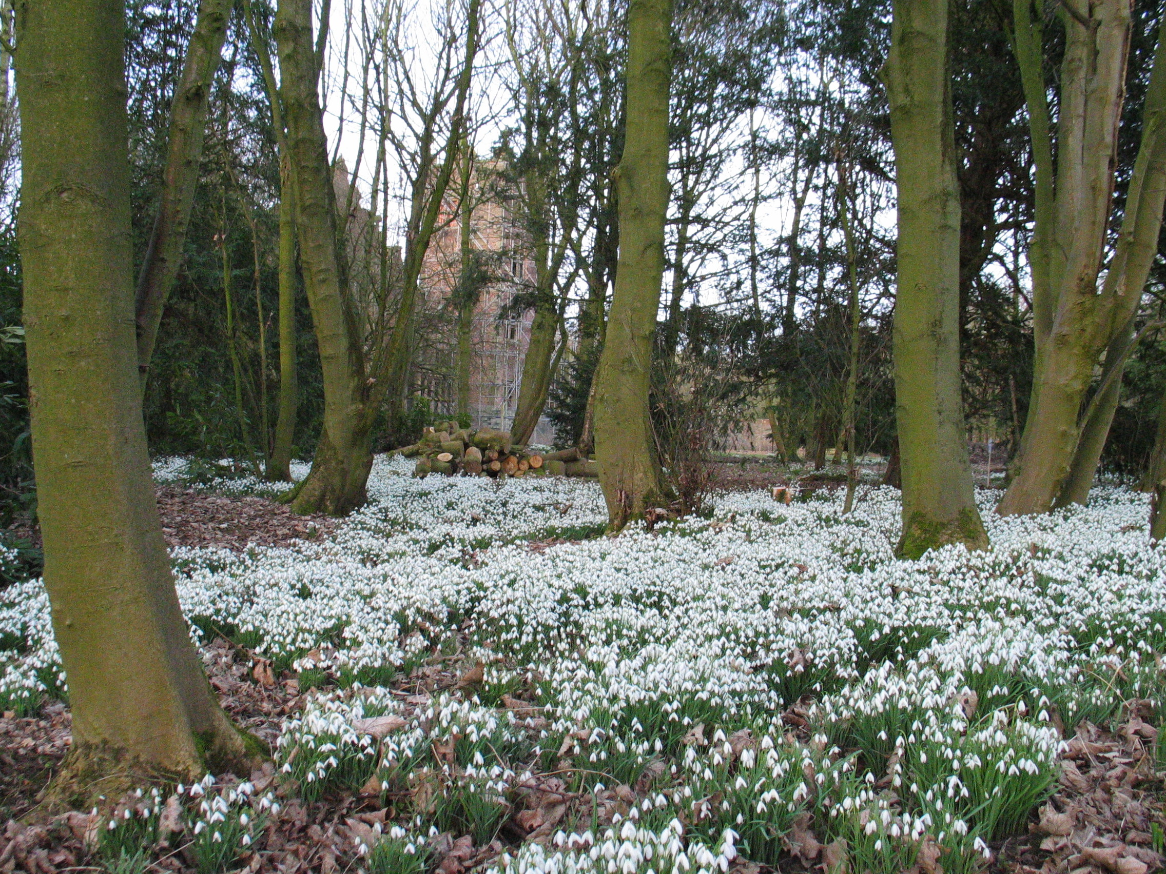 Image result for snowdrops field